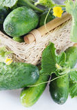 Fresh ripe green cucumbers Royalty Free Stock Photography