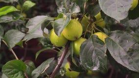 Fresh Ripe Green Small Apples Hanging on Tree Branch in Fruit Garden stock video