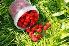 Fresh ripe healthy raspberries in bucket on green grass.  Royalty Free Stock Image