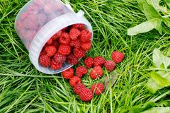 Fresh ripe healthy raspberries in bucket on green grass.  Royalty Free Stock Photo