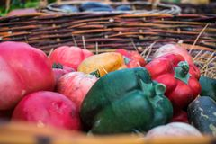 Fresh and ripe homemade Bulgarian sweet peppers, yellow, orange, red and green and pink tomatoes. Lie after harvesting in a wicker basket made of grapevine royalty free stock photos