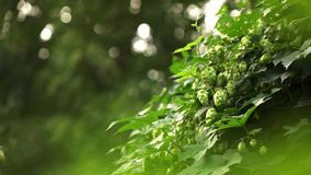 Fresh and Ripe Hops ready for harvesting.Slow motion. 1080p full HD video. Bush of ripe hop cones on the field the windless weather. Raw material for beer stock footage
