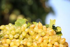 Fresh ripe juicy grapes. On blurred background royalty free stock images