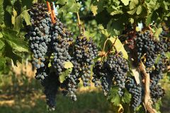 Fresh ripe juicy grapes growing on branches. In vineyard royalty free stock photos