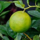 Fresh ripe lemons on a lemon tree branch in  garden Royalty Free Stock Photo