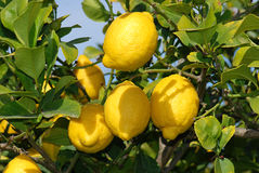 Fresh ripe Lemons at tree Royalty Free Stock Photo