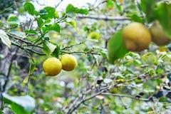 Fresh ripe lemons on a tree branch Royalty Free Stock Photo