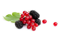 Fresh ripe mulberries and red currants Stock Photography