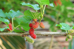 Fresh ripe mulberry berries Royalty Free Stock Images