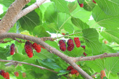 Fresh ripe mulberry berries Royalty Free Stock Photos