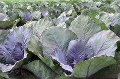 Fresh and ripe multicolored collard. Field of fresh and ripe multicolored collard Royalty Free Stock Image
