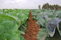 Fresh and ripe multicolored collard (HDR image). Field of fresh and ripe multicolored collard (HDR image Stock Images