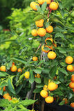 Fresh ripe orange hangs on the tree Stock Photo