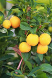 Fresh ripe orange hangs on the tree Royalty Free Stock Image