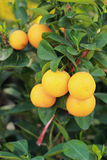 Fresh ripe orange hangs on the tree Royalty Free Stock Photo