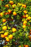 fresh ripe orange on plant royalty free stock photos