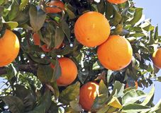 Fresh ripe oranges hanging in the tree Stock Photo