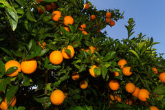 Fresh ripe oranges and tangerines on the trees. Stock Images
