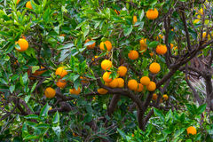 Fresh ripe oranges and tangerines on the trees. Royalty Free Stock Images
