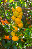 Fresh ripe oranges and tangerines on the trees. Royalty Free Stock Image
