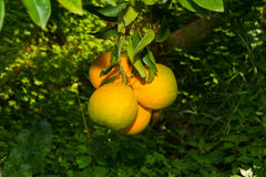 Fresh ripe oranges  on the trees. Royalty Free Stock Photography
