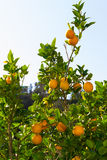 Fresh ripe oranges  on the trees. Royalty Free Stock Images