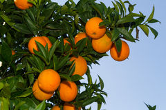 Fresh ripe oranges on the trees. Stock Photography
