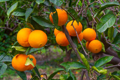 Fresh ripe oranges on the trees. Stock Images