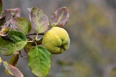 Fresh, ripe organic quince Stock Photos