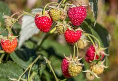 Raspberries. Fresh ripe organic raspberries ready to be enjoyed Stock Images