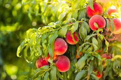 Fresh ripe peach on tree in summer orchard Stock Images