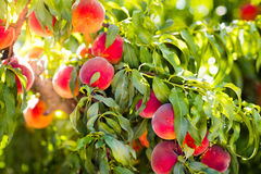 Fresh ripe peach on tree in summer orchard Royalty Free Stock Image