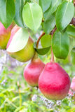 Fresh ripe pears Royalty Free Stock Images