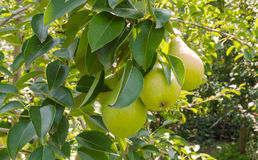 Fresh ripe pears Royalty Free Stock Photography