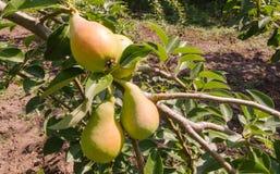 Fresh ripe pears Royalty Free Stock Photos