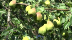 Fresh ripe pears on tree branch in garden stock video