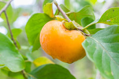 Fresh ripe persimmon on tree Royalty Free Stock Photo