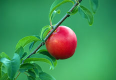 Fresh ripe plum on the tree branch Royalty Free Stock Photo