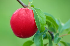 Fresh ripe plum on the tree branch Royalty Free Stock Image