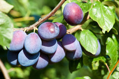 Fresh ripe plums. On a tree Royalty Free Stock Photo