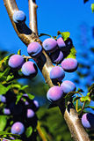 Fresh ripe plums on the tree Stock Photos