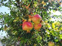 Fresh ripe pomegranate fruit growing in nature. Ripe pomegranate vine growing in nature Royalty Free Stock Images