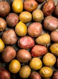 Fresh ripe potatoes stock photo