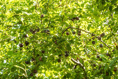 Fresh ripe purple cherry-plums hanging on a green tree branch in. Orchard on natural light Stock Images