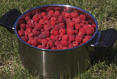 Fresh ripe raspberries. Royalty Free Stock Images