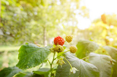 Fresh ripe raspberries in a garden with a warm bright nlight Stock Photo