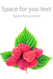 Fresh, ripe raspberries over green leaves, isolated on white background. Fresh, ripe raspberries over green leaves, isolated on white background, with space for Royalty Free Stock Image