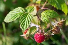 Fresh ripe raspberry berries in the organic garden. Fresh raspberry berries on a green branch in the garden Stock Image