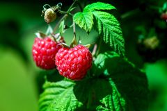 Fresh and ripe raspberry in a fruit garden. Macro shot of a fresh and ripe raspberry in a fruit garden on a sunny day on a green background Royalty Free Stock Photos