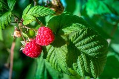 Fresh and ripe raspberry in a fruit garden. Macro shot of a fresh and ripe raspberry in a fruit garden on a sunny day on a green background Stock Photography
